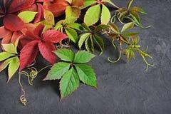 Folhas de outono coloridas da videira virgem Foto de Stock