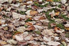 Folhas de outono coloridas e marrons, textura, material e fundo Deixa as folhas das árvores, fim acima Fotos de Stock Royalty Free