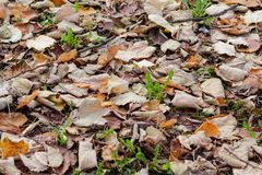Folhas de outono coloridas e marrons, textura, material e fundo Deixa as folhas das árvores, fim acima Fotografia de Stock Royalty Free
