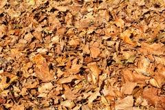 Folhas de outono coloridas e marrons, textura, material e fundo Deixa as folhas das árvores, fim acima Fotografia de Stock