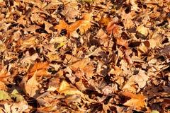 Folhas de outono coloridas e marrons, textura, material e fundo Deixa as folhas das árvores, fim acima Fotos de Stock