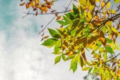 Folhas de outono coloridas frescas Fotografia de Stock
