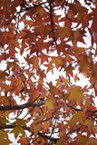 Folhas de outono coloridas na árvore Fotos de Stock