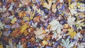 Folhas de outono coloridas no fundo da grama seca video estoque