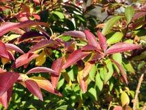 Folhas de outono coloridas no parque, Lituânia foto de stock