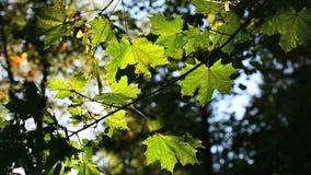 Folhas de outono coloridas no vento vídeos de arquivo