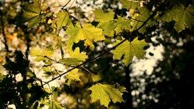 Folhas de outono coloridas no vento, tom do sepia vídeos de arquivo