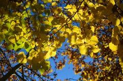 Folhas de outono com céu azul atrás Fotos de Stock Royalty Free