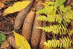 Folhas de outono, cones, samambaia Imagens de Stock Royalty Free