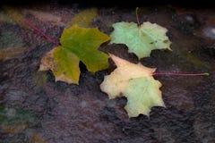 Folhas de outono congeladas no gelo transparente Foto de Stock Royalty Free
