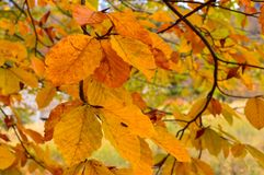 Folhas de outono da árvore de faia fotografia de stock royalty free