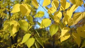 Folhas de outono da árvore de Linden video estoque