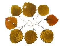 Folhas de outono da coleção da árvore do asp imagens de stock royalty free