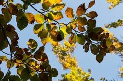 Folhas de outono da faia Imagem de Stock