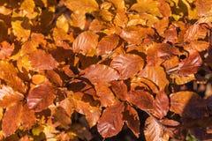 Folhas de outono da faia Foto de Stock