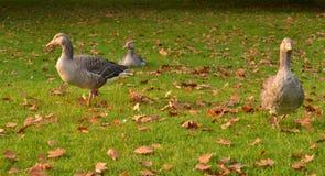 Folhas de outono da grama de gansos do pato bravo europeu Fotografia de Stock