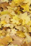 Folhas de outono da queda Fotos de Stock Royalty Free