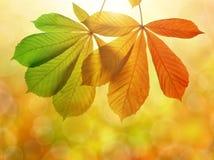Folhas de outono da árvore de castanha Imagens de Stock