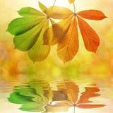 Folhas de outono da árvore de castanha Imagens de Stock Royalty Free
