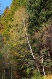 folhas de outono da Vidoeiro-árvore Fotografia de Stock Royalty Free