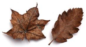 Folhas de outono de Brown Fotografia de Stock Royalty Free