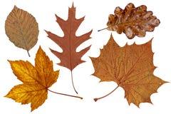 Folhas de outono de Brown Fotografia de Stock
