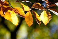 Folhas de outono de Brown em uma floresta Foto de Stock