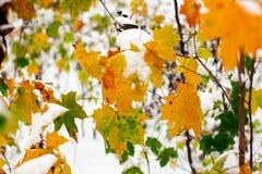 Folhas de outono de um bordo na neve Fotos de Stock Royalty Free