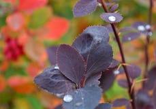 Folhas de outono de uma bérberis Foto de Stock Royalty Free
