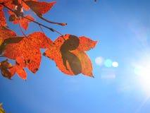 Folhas de outono do bordo Fotografia de Stock