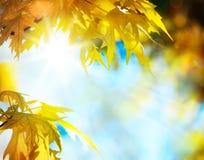 Folhas de outono do bordo Fotografia de Stock Royalty Free