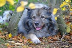 Folhas de outono do cão Fotografia de Stock Royalty Free