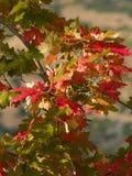 Folhas de outono do por do sol Fotografia de Stock Royalty Free