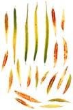 Folhas de outono do salgueiro isoladas no fundo branco imagens de stock royalty free