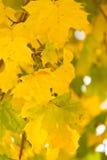 Folhas de outono douradas Fotografia de Stock