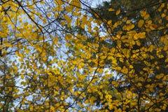 Folhas de outono douradas contra um céu azul Foto de Stock Royalty Free