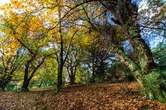 Folhas de outono douradas nas escalas de Dandenong imagens de stock