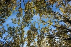 Folhas de outono e céu azul Fotos de Stock