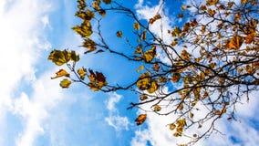 Folhas de outono e céu azul Imagem de Stock