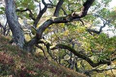 Folhas de outono em carvalhos Foto de Stock