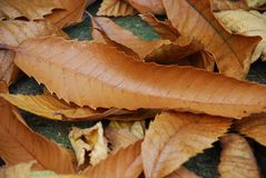 Folhas de outono em Kent Foto de Stock