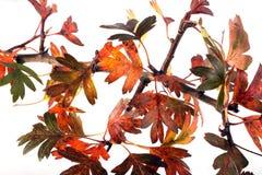 Folhas de outono em um fundo branco Fotografia de Stock