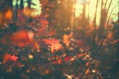 Folhas de outono fundo, contexto Paisagem, folhas que balançam em uma árvore no parque outonal Queda Carvalhos com folhas colorid imagem de stock