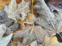 Folhas de outono gelados Imagens de Stock