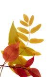 Folhas de outono isoladas Fotos de Stock