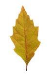 Folhas de outono isoladas Fotografia de Stock