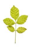Folhas de outono isoladas Imagens de Stock