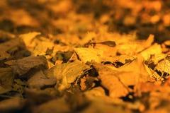 Folhas de outono murchos alaranjadas amarelas no parque imagem de stock