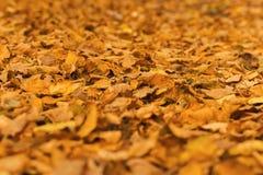 Folhas de outono murchos alaranjadas amarelas no parque fotografia de stock
