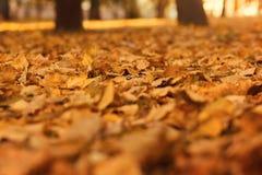Folhas de outono murchos alaranjadas amarelas no parque fotos de stock